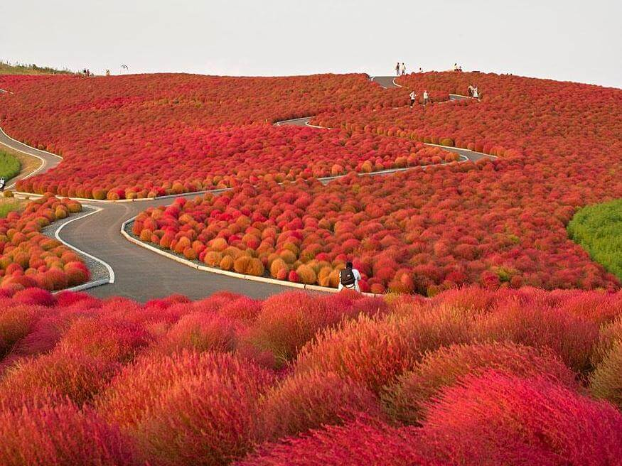 Hitachi-seaside-park-Giappone