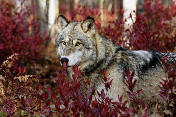 Né lupo né cane: la psicologia di un anziano Indio