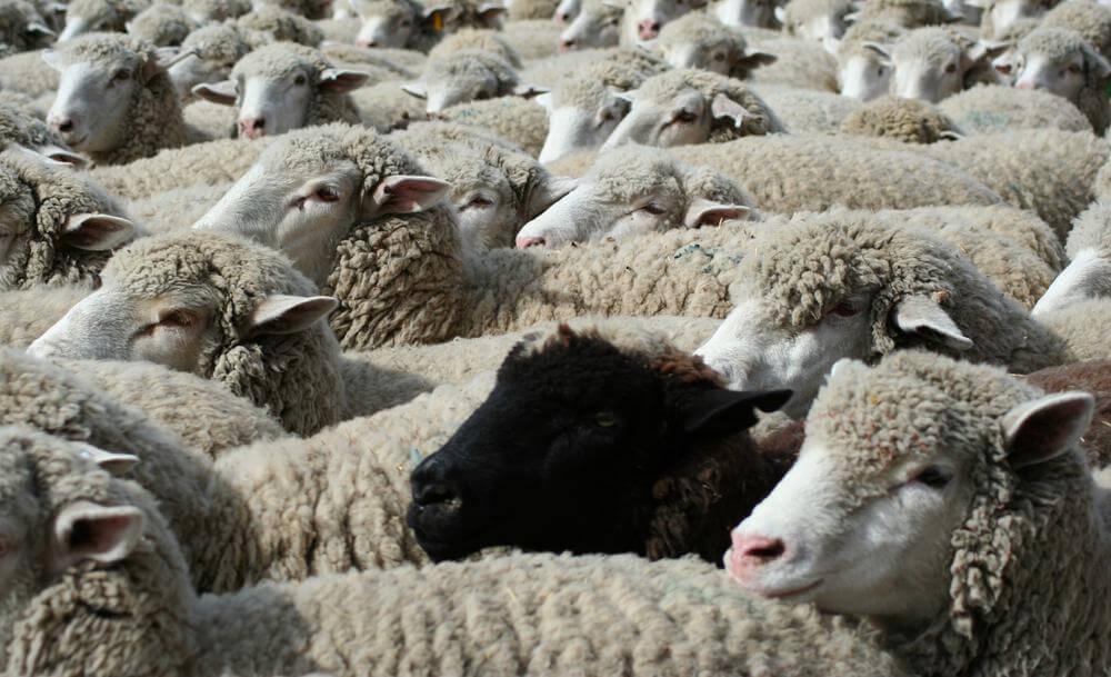 Essere la pecora nera in un gregge di pecore bianche