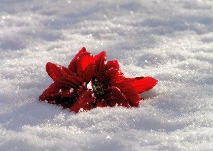 fiore-neve