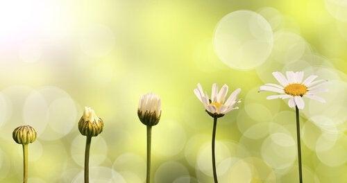 margherita dal bocciolo alla fioritura