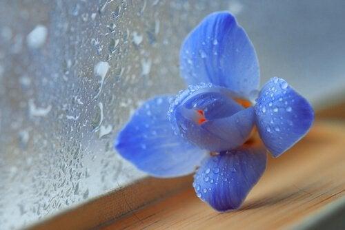fiore-con-rugiada