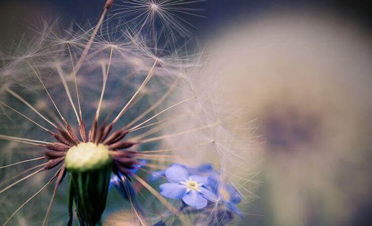 dente-di-leone-con-fiore-blu