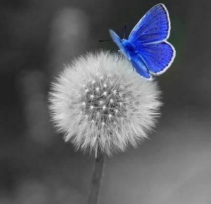dente di leone e farfalla azzurra