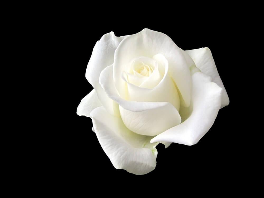Sophie Scholl, la giovane che ha tenuto testa a Hitler con una rosa bianca