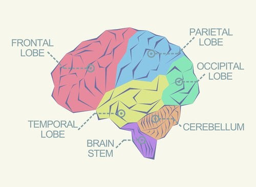Schema del cervello umano