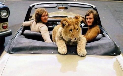 Christian il leone in macchina