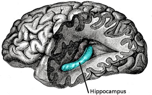 Ippocampo