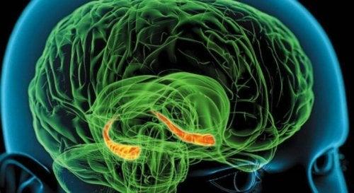 Immagine che evidenzia l'ippocampo all'interno del cervello umano
