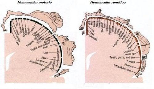 Struttura homunculus motorio e sensitivo