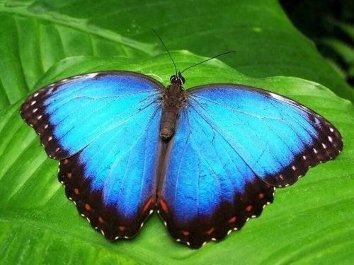 Una farfalla azzurra