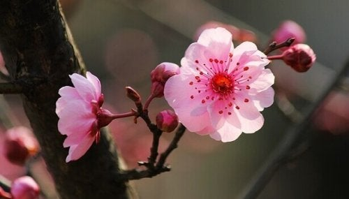 Fiori di ciliegio come simbolo delle frasi buddiste