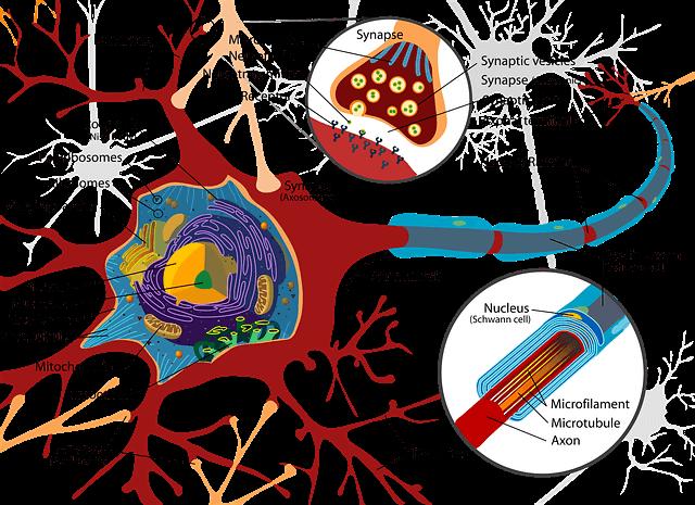 Proprietà delle sinapsi spazio sinaptico
