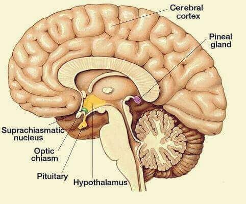 Cervello e ghiandola pineale