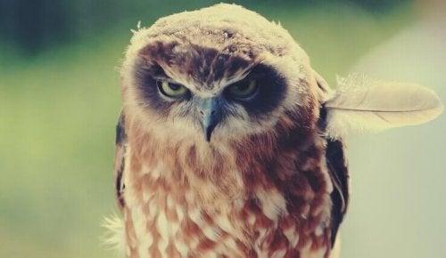 Gufo che sembra arrabbiato