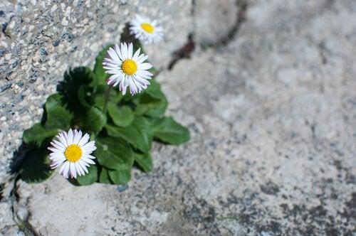 Margherite dal cemento