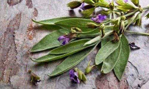 Benefici della salvia, la famosa pianta delle donne