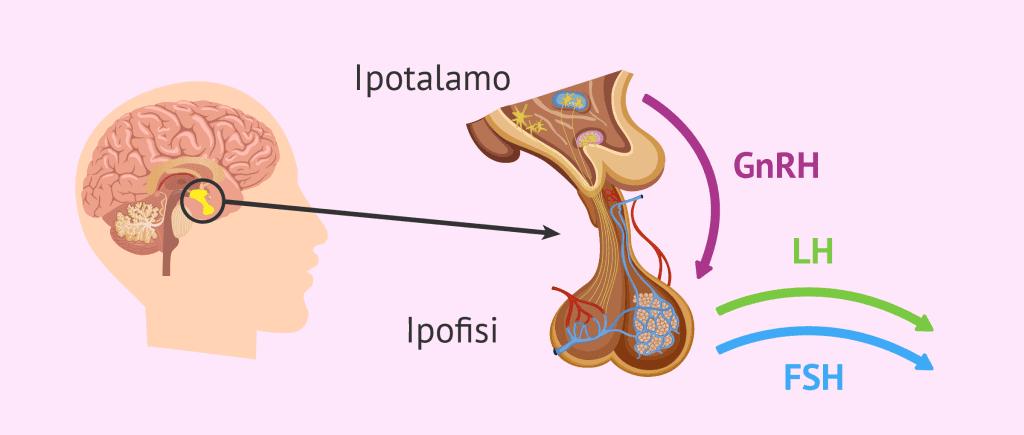 Struttura-ipofisi-11