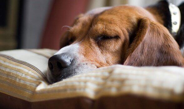 Cane addormentato sul cuscino