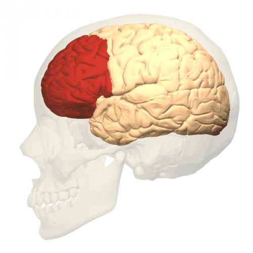 Immagine del cranio e del lobo frontale nel cervello