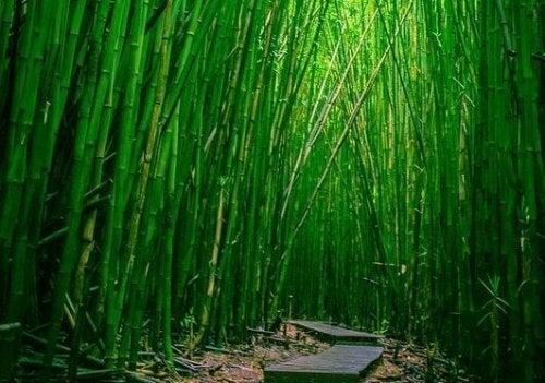 Sentiero in mezzo ai bambù