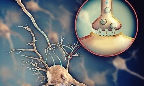 Acetilcolina: il neurotrasmettitore che facilita la comunicazione tra i neuroni