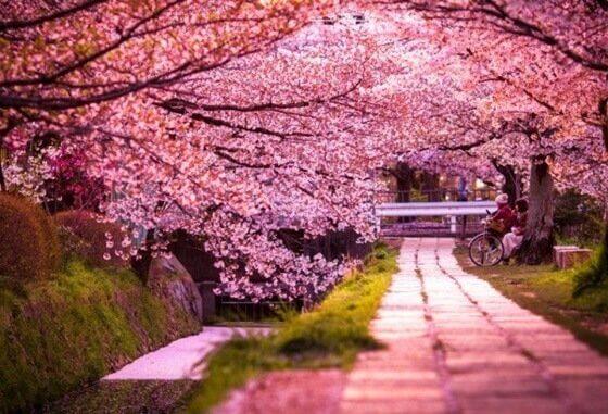 Giardino giapponese con ciliegi in fiore