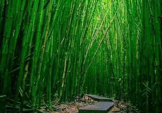 Sentiero fra piante di bambù