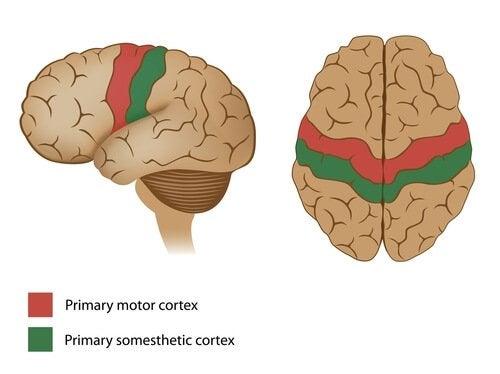 Aree della corteccia motoria