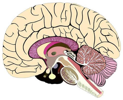 Cervello meningi