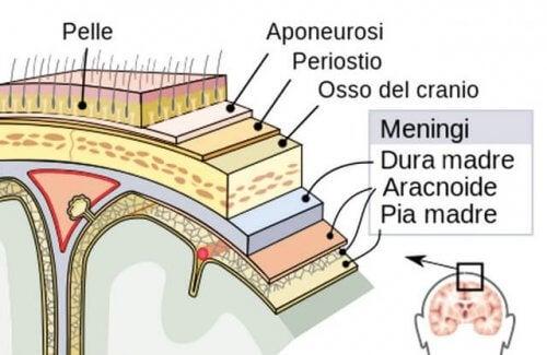 Struttura meningi