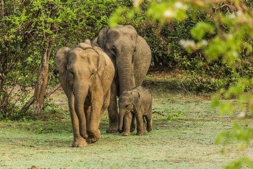 Famiglia di elefanti pascolano
