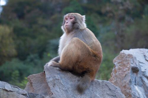Scimmia seduta