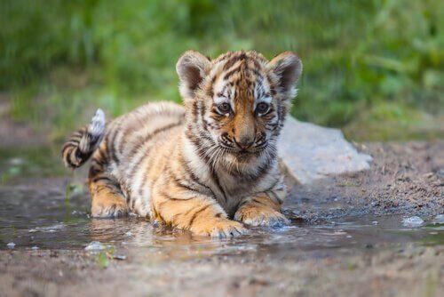 La tigre nella terapia