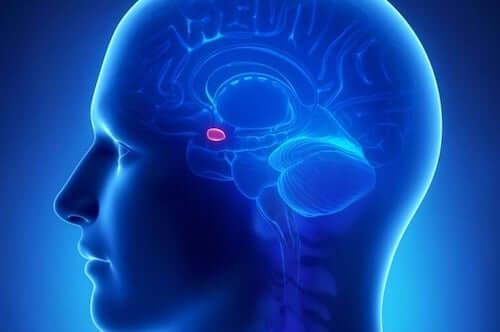 Cranio con amigdala in evidenza
