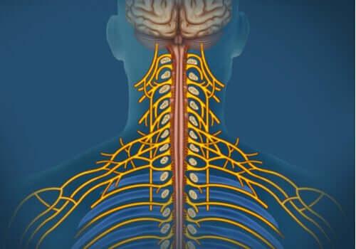 Sistema nervoso somatico: caratteristiche e funzioni