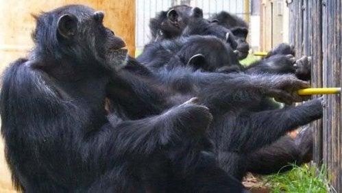 Gruppo di scimpanzé