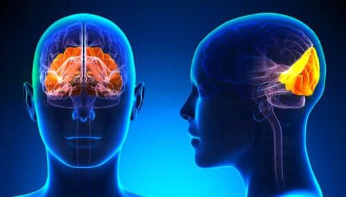 Lobo occipitale: struttura e funzioni