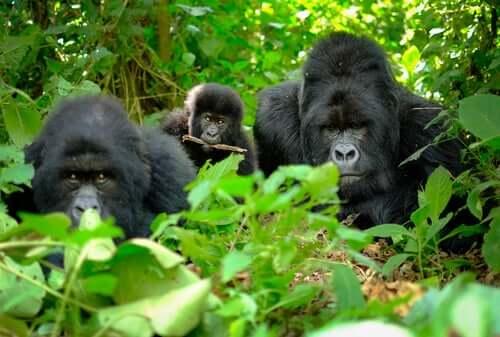 Branco di gorilla