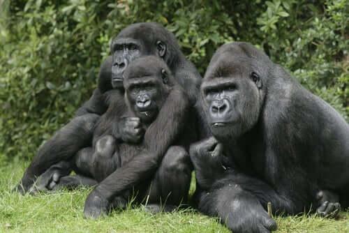 Gruppo di gorilla