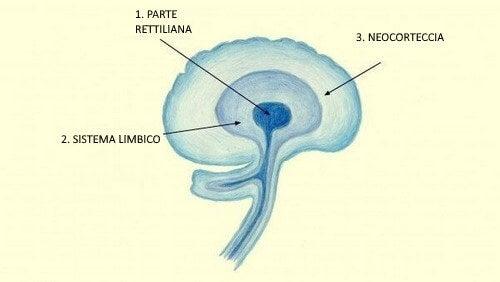 Struttura della neocorteccia