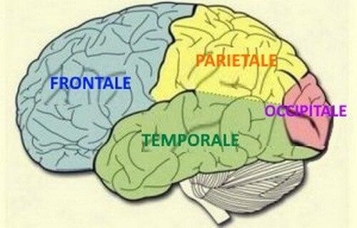 Lobi del cervello
