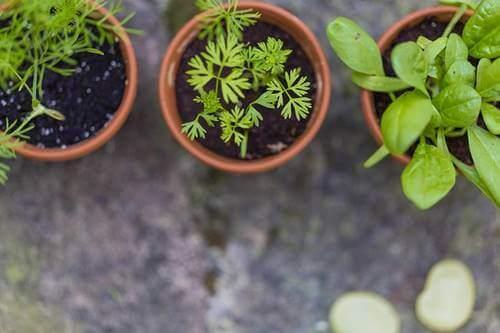 Coltivare l'orto in casa, piantine nel vaso