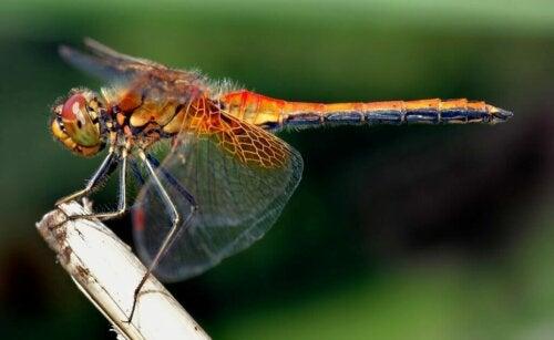 Ali della libellula