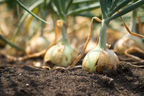 Coltivazione di cipolle