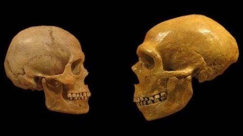 Differenze tra il cranio dei Neanderthal e dell'essere umano moderno.