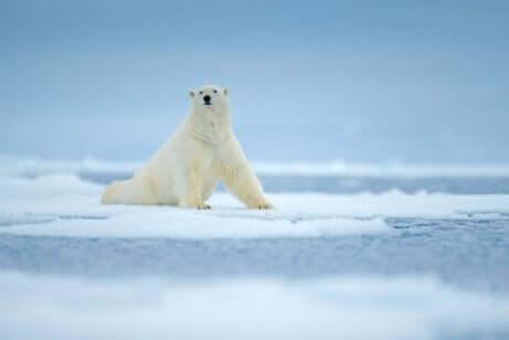 Orso polare su un ghiacciaio