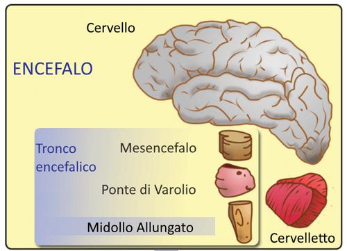 Il mesencefalo: caratteristiche e funzioni