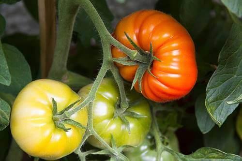Pomodori naturali coltivati in casa.