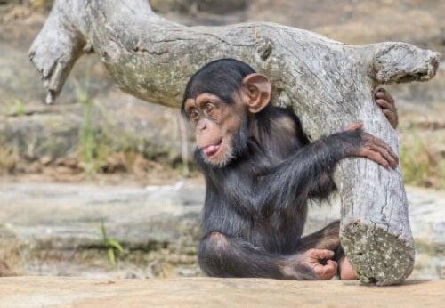Cucciolo di scimpanzé con la lingua di fuori.